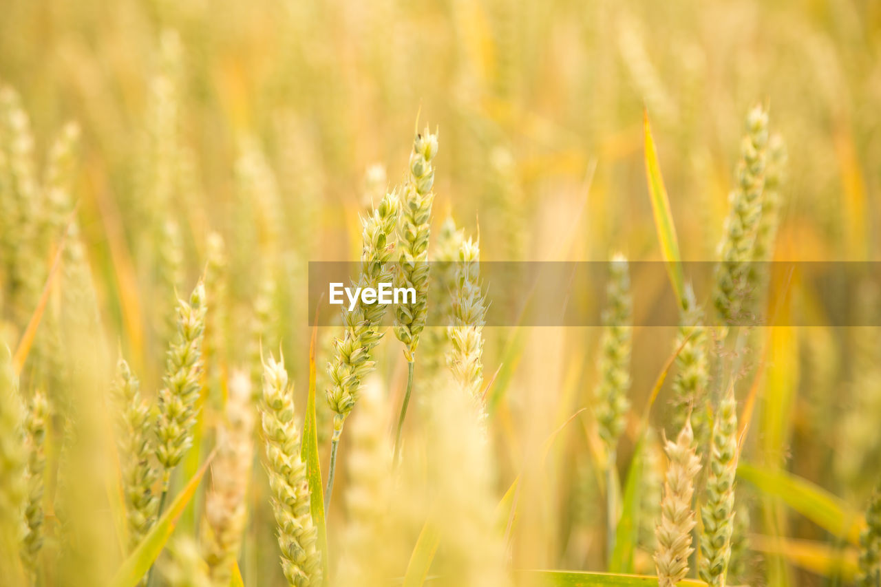 growth, plant, beauty in nature, selective focus, agriculture, crop, field, cereal plant, nature, rural scene, close-up, no people, land, green color, wheat, farm, landscape, tranquility, day, freshness, outdoors