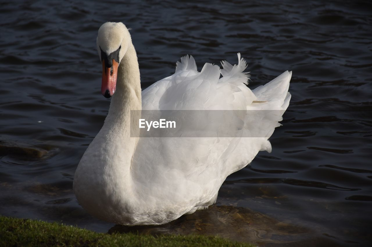 animal themes, animals in the wild, water, animal wildlife, animal, vertebrate, bird, swan, one animal, lake, swimming, water bird, white color, no people, nature, day, waterfront, zoology, close-up, animal neck