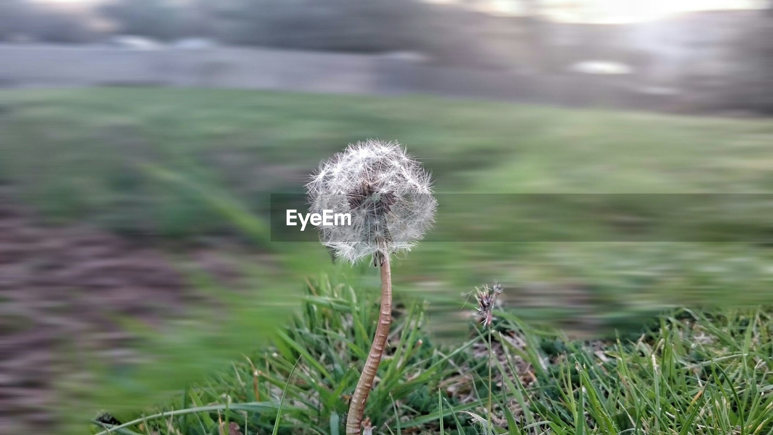 Close-up of dandelion blooming in field