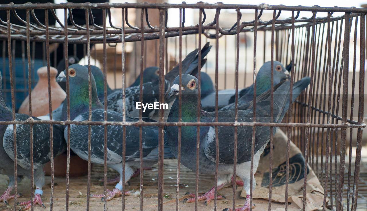 Pigeons in birdcage at market