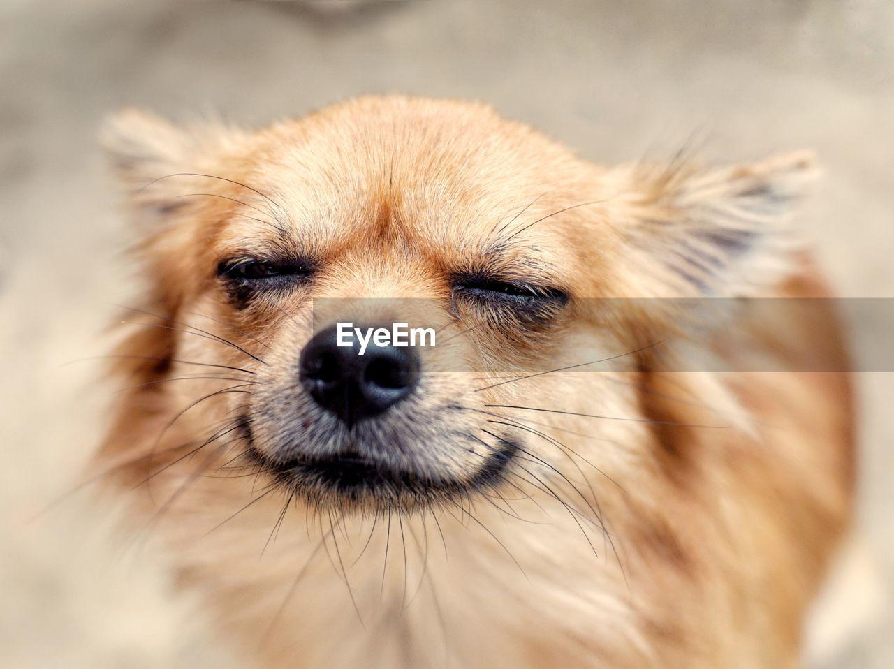Chihuahua dog close its eyes