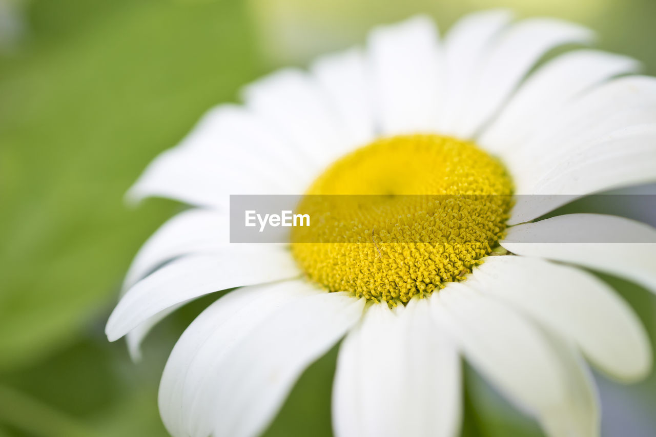 flower, petal, fragility, yellow, beauty in nature, freshness, flower head, growth, nature, plant, blooming, white color, no people, pollen, close-up, outdoors, day