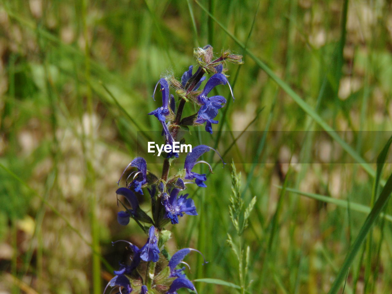 flowering plant, flower, plant, fragility, purple, vulnerability, beauty in nature, growth, petal, freshness, close-up, flower head, nature, blue, inflorescence, land, no people, day, focus on foreground, field, lavender, pollination