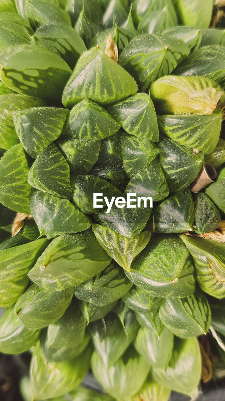 green color, leaf, plant part, food and drink, food, wellbeing, freshness, close-up, no people, healthy eating, growth, plant, vegetable, full frame, nature, backgrounds, day, high angle view, leaves, still life