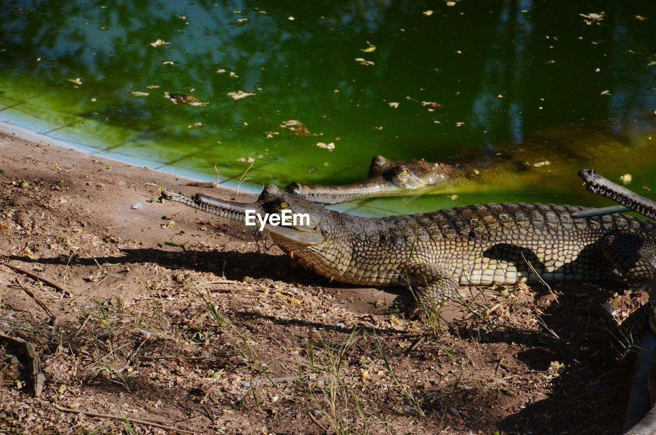 High Angle View Of Gharials In Zoo