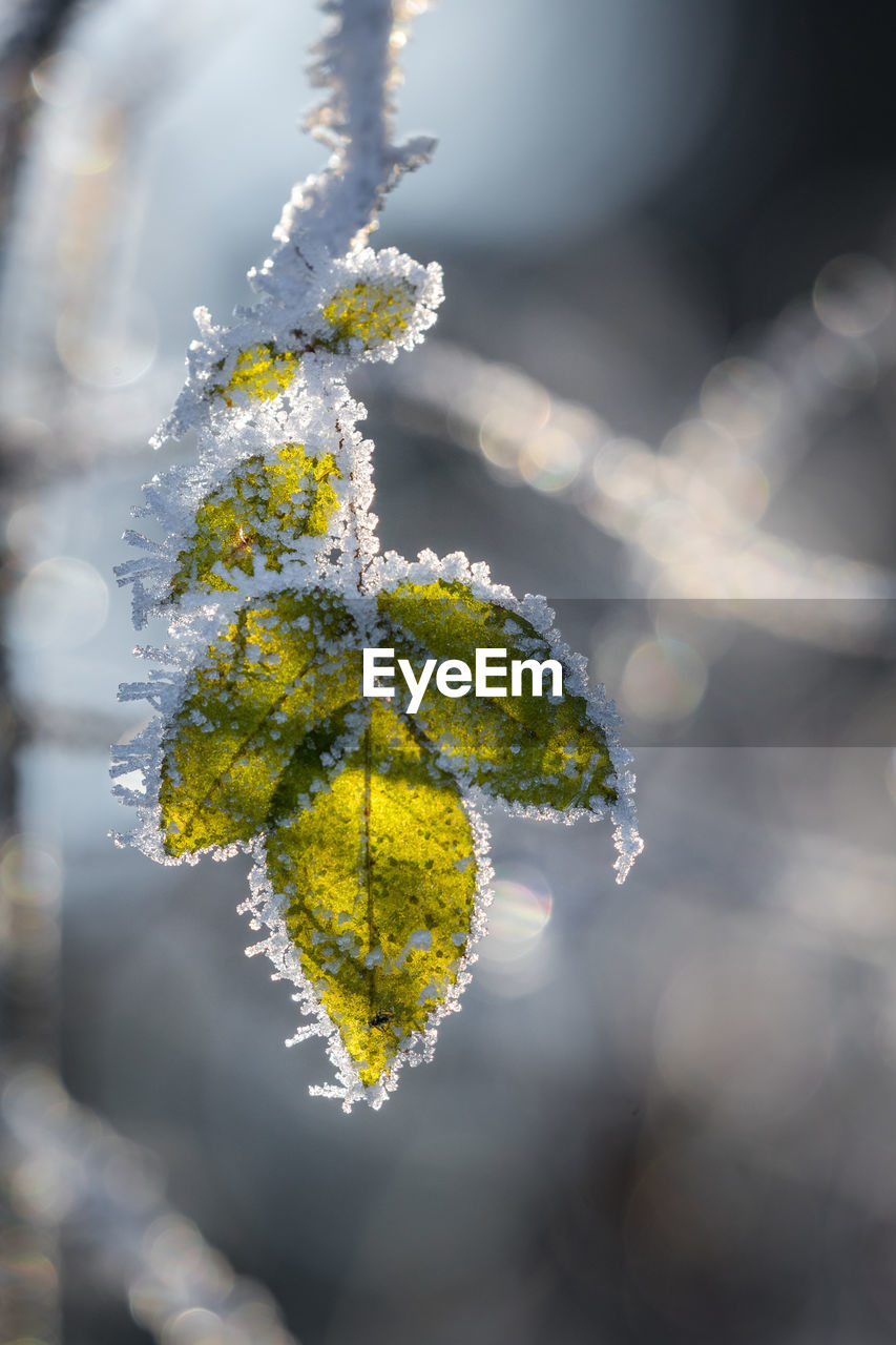 nature, leaf, beauty in nature, cold temperature, growth, close-up, frozen, winter, no people, outdoors, day, green color, focus on foreground, tranquility, plant, snow, fragility, catkin, freshness