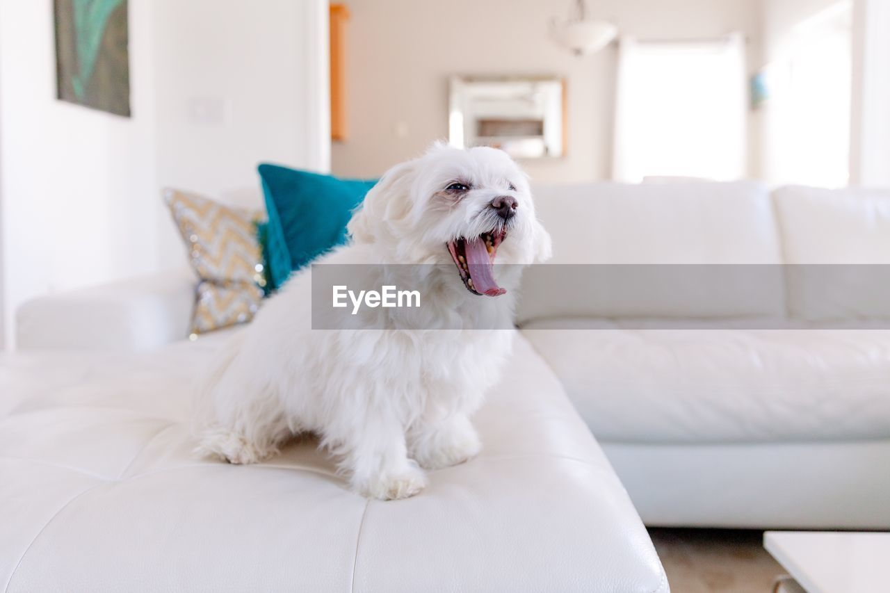 pets, domestic animals, domestic, one animal, mammal, animal themes, animal, dog, canine, vertebrate, indoors, sofa, furniture, home interior, white color, domestic room, living room, focus on foreground, no people, sitting, flooring, mouth open
