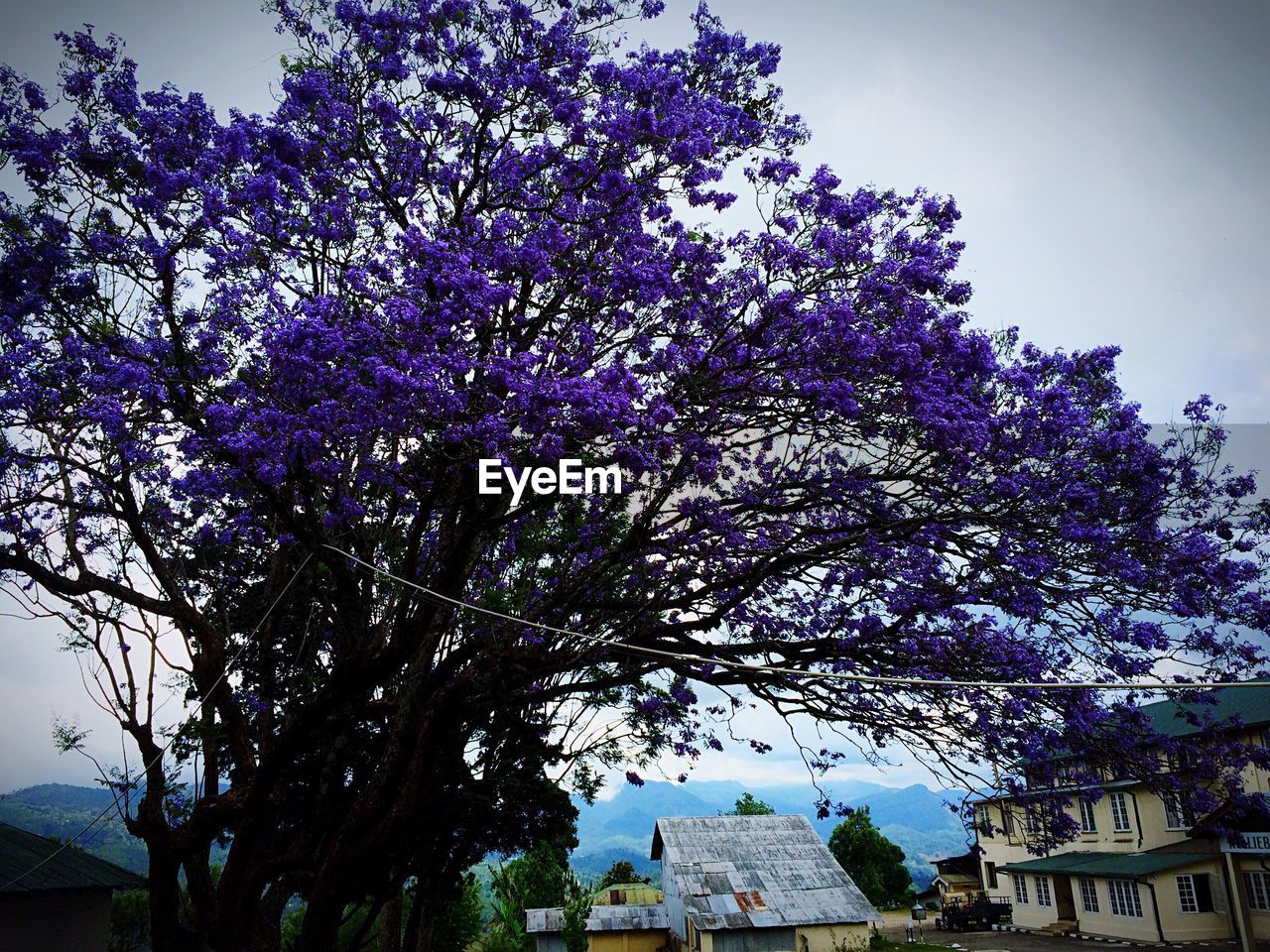 tree, architecture, building exterior, built structure, low angle view, flower, no people, day, purple, beauty in nature, nature, branch, outdoors, growth, fragility, sky, freshness