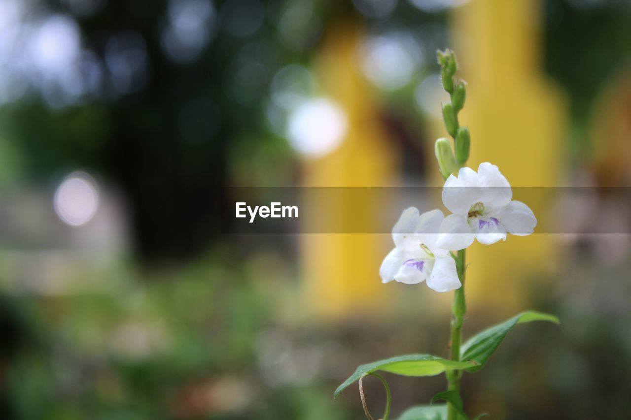 plant, flower, growth, beauty in nature, fragility, flowering plant, vulnerability, focus on foreground, freshness, close-up, petal, nature, flower head, inflorescence, white color, day, no people, plant part, leaf, selective focus, outdoors