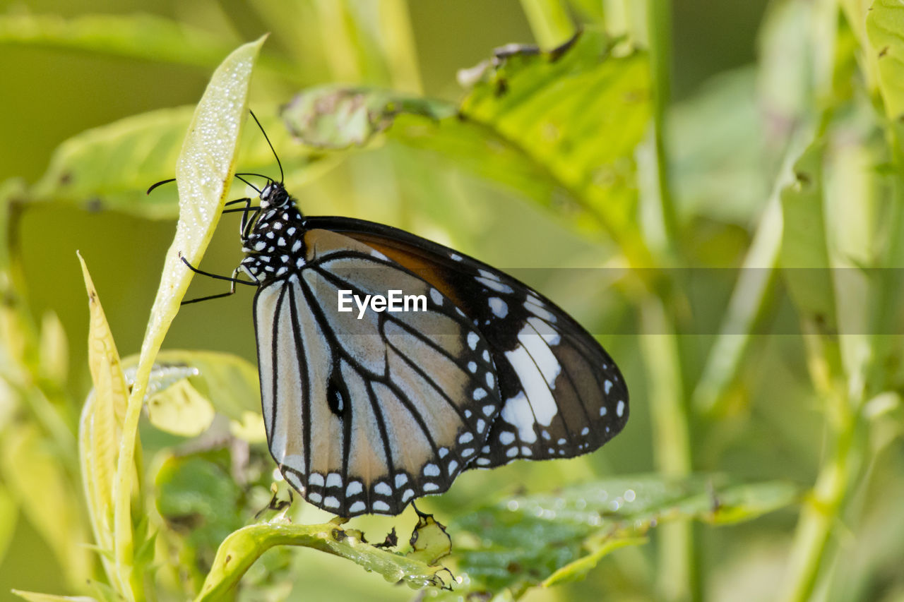 invertebrate, insect, animal themes, animal wildlife, animal, animals in the wild, one animal, plant, animal wing, beauty in nature, close-up, butterfly - insect, green color, plant part, focus on foreground, flower, growth, nature, leaf, no people, butterfly, pollination