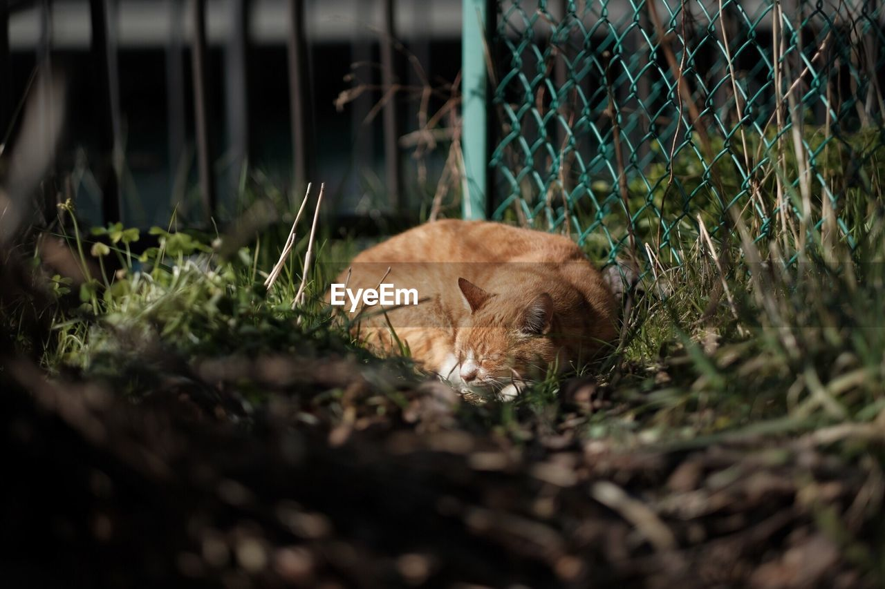 Ginger cat sleeping on field by fence