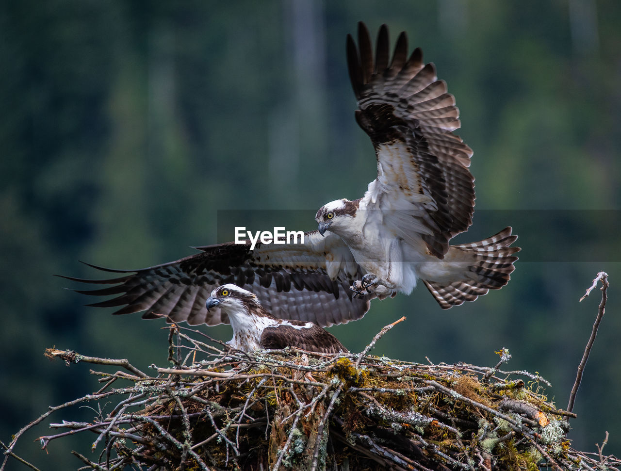 bird, animals in the wild, animal wildlife, animal themes, animal, spread wings, vertebrate, flying, bird of prey, one animal, focus on foreground, nature, no people, day, mid-air, tree, outdoors, close-up, plant, branch, eagle