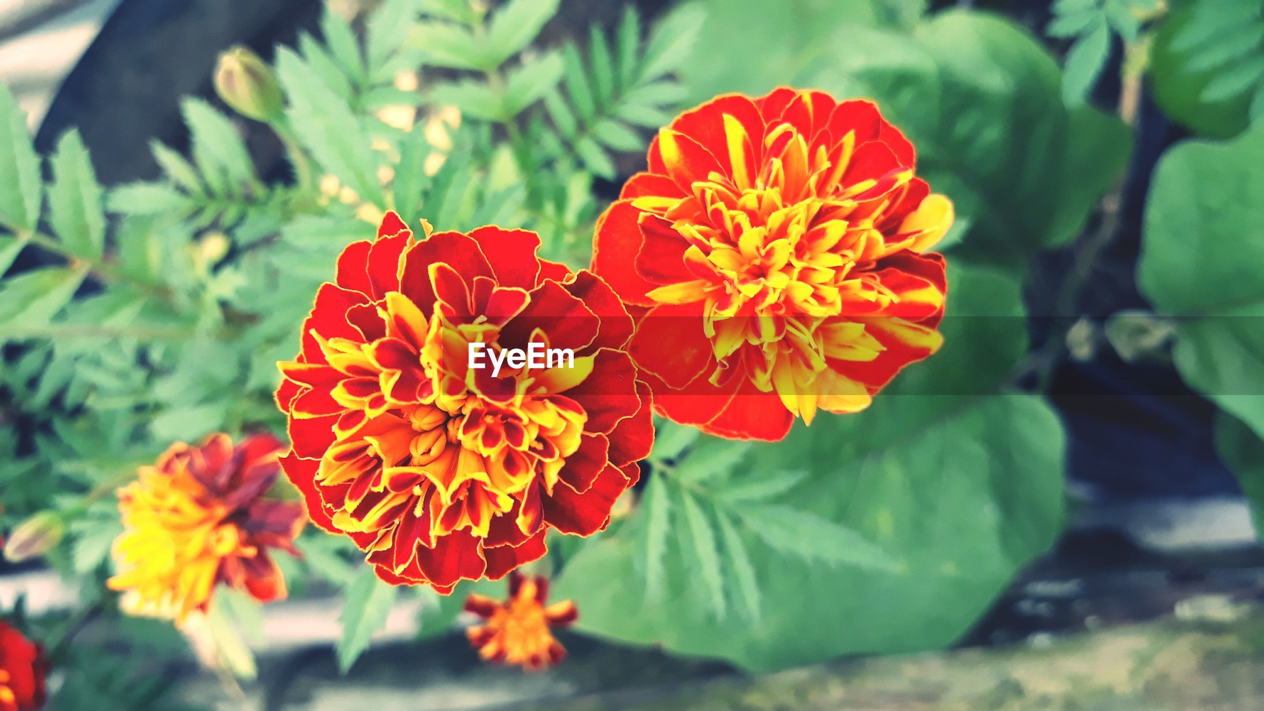 flower, beauty in nature, petal, growth, freshness, flower head, nature, fragility, blooming, plant, orange color, no people, focus on foreground, day, red, outdoors, zinnia, park - man made space, marigold, close-up