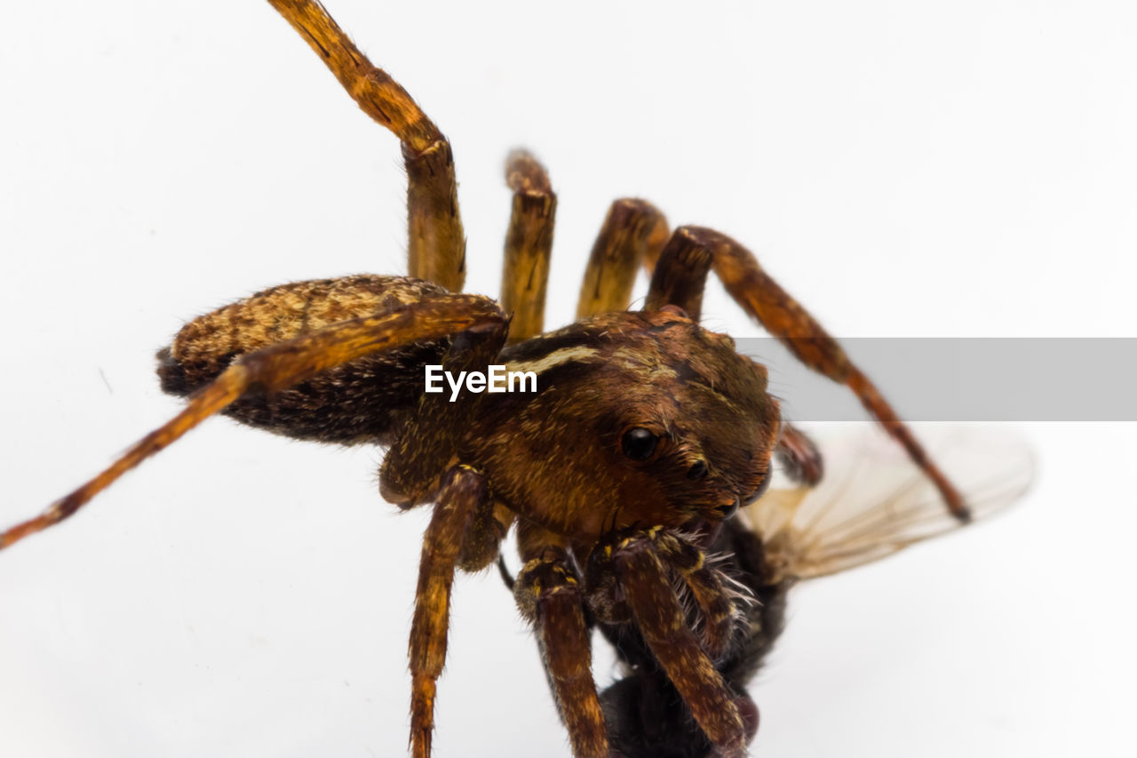 white background, studio shot, animal, insect, invertebrate, close-up, indoors, animal wildlife, animal themes, arachnid, no people, arthropod, animals in the wild, one animal, spider, zoology, copy space, brown, animal body part, nature