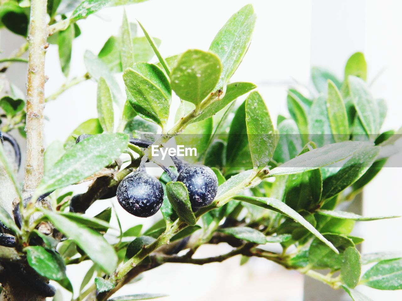 leaf, plant part, fruit, plant, healthy eating, food, no people, food and drink, close-up, nature, growth, green color, berry fruit, focus on foreground, wellbeing, freshness, day, ripe, blueberry, selective focus
