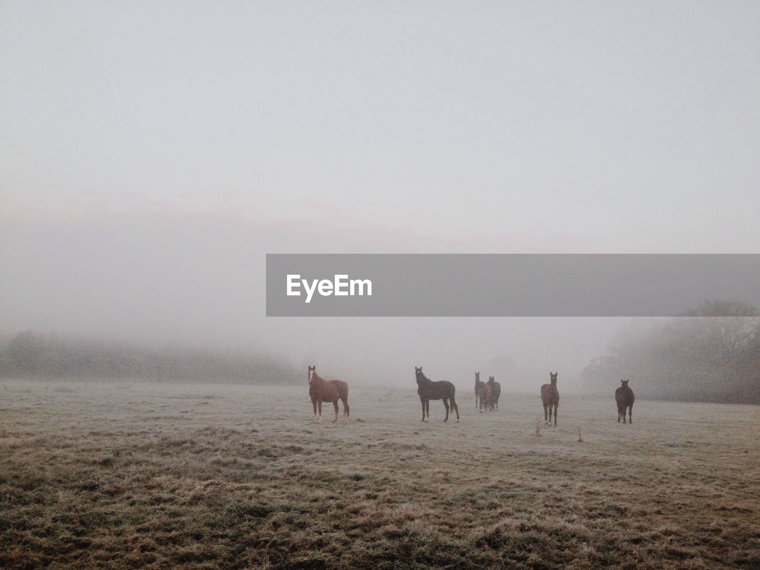 Horses on grassy field during foggy weather