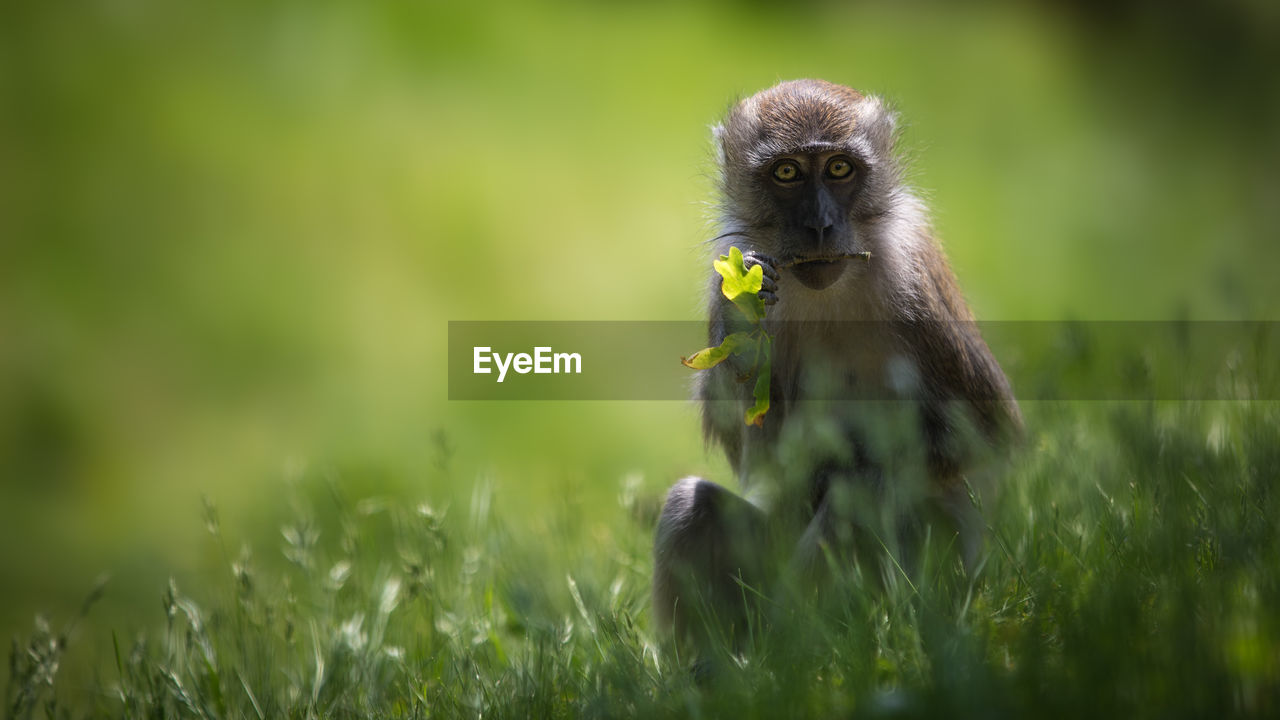Portrait Of Monkey Sitting On Grassy Field
