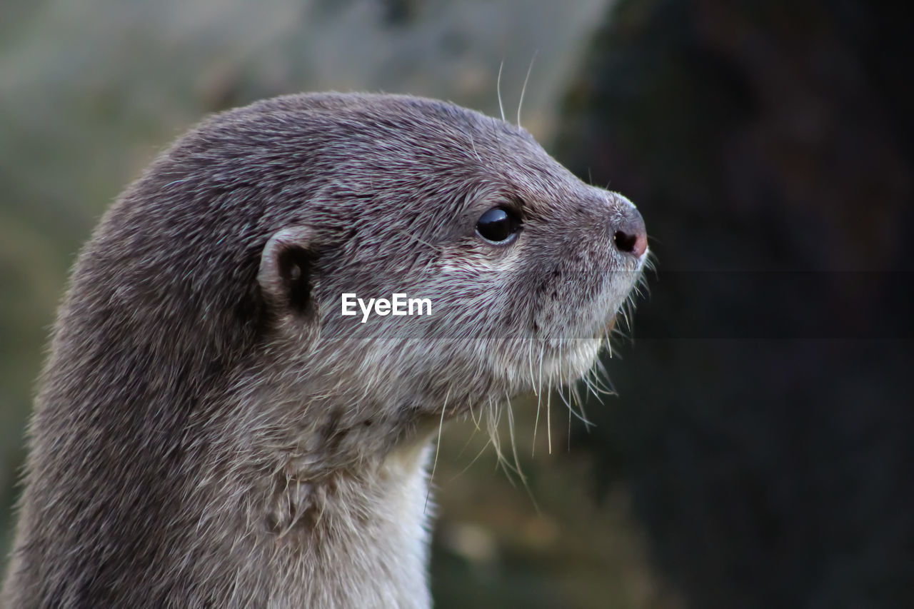 animal, animal themes, one animal, animal wildlife, close-up, focus on foreground, mammal, animals in the wild, vertebrate, no people, day, nature, animal body part, animal head, looking, outdoors, underwater, looking away, whisker, otter