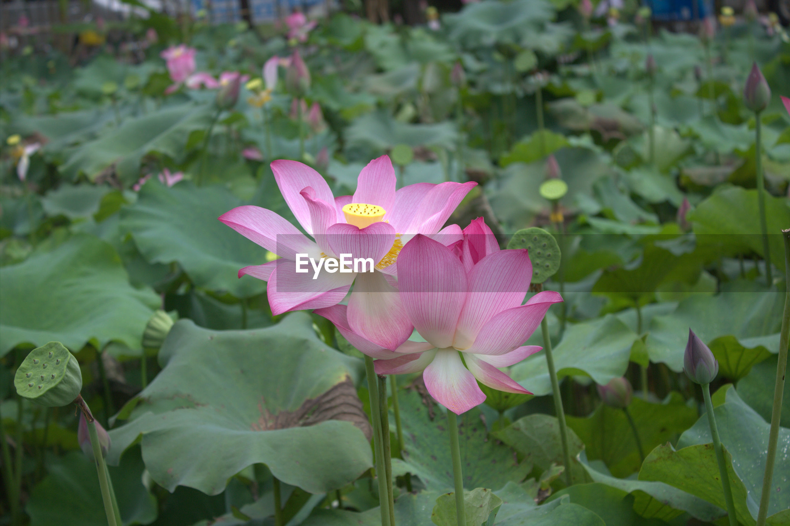 Close-up of pink lotus water lily blooming outdoors
