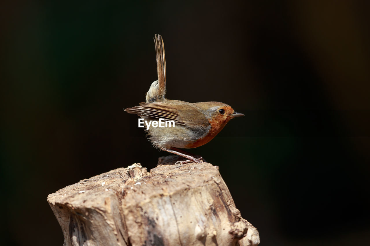 Close-Up Of Robin Perching On Wooden Post