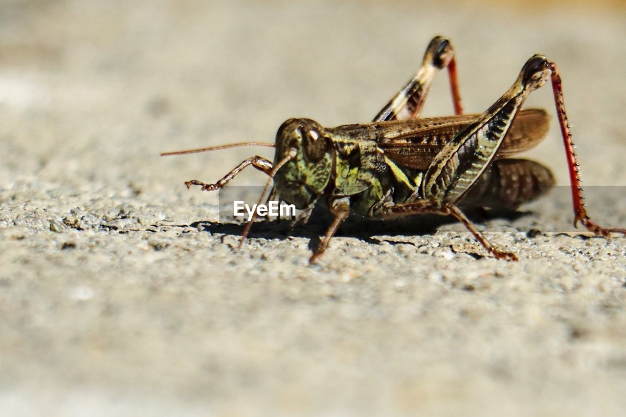 animal themes, invertebrate, animals in the wild, animal, animal wildlife, insect, one animal, selective focus, close-up, day, animal body part, nature, grasshopper, no people, zoology, outdoors, surface level, sunlight, arthropod, animal wing