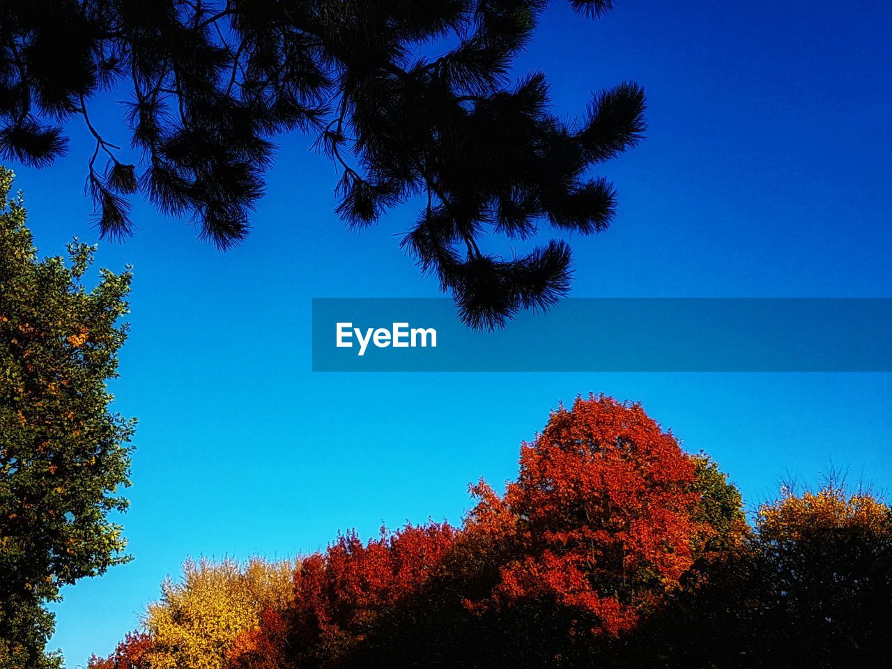 tree, plant, sky, blue, growth, low angle view, tranquility, beauty in nature, no people, tranquil scene, nature, clear sky, scenics - nature, day, change, autumn, outdoors, branch, silhouette, treetop