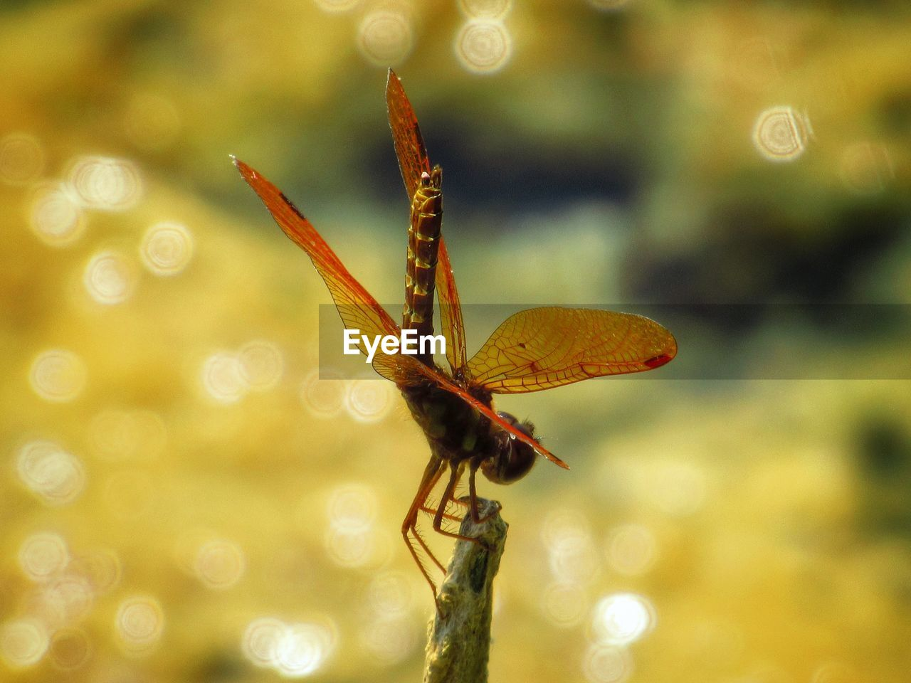 insect, invertebrate, one animal, animal wildlife, animal themes, animals in the wild, close-up, animal, animal wing, focus on foreground, plant, no people, beauty in nature, nature, day, outdoors, dragonfly, growth, flower, orange color, butterfly - insect