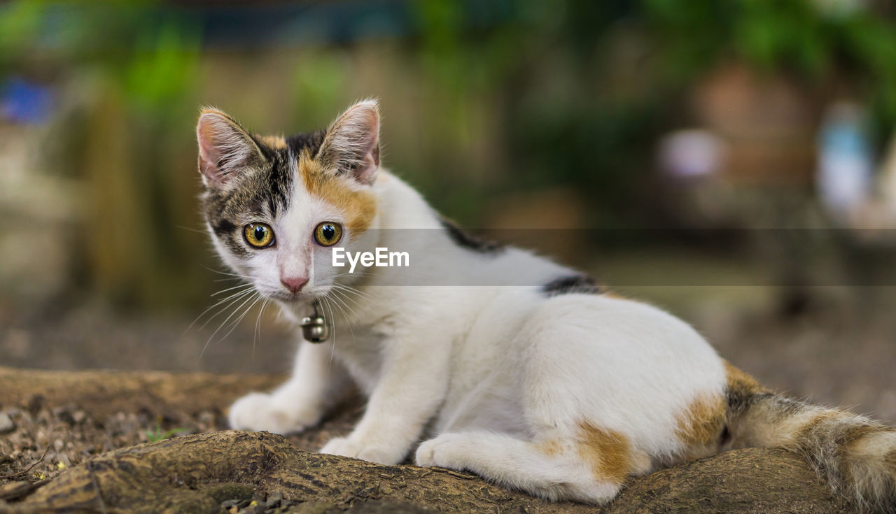 pets, domestic, cat, domestic animals, domestic cat, feline, mammal, one animal, vertebrate, portrait, focus on foreground, looking at camera, whisker, no people, day, close-up, looking, animal eye