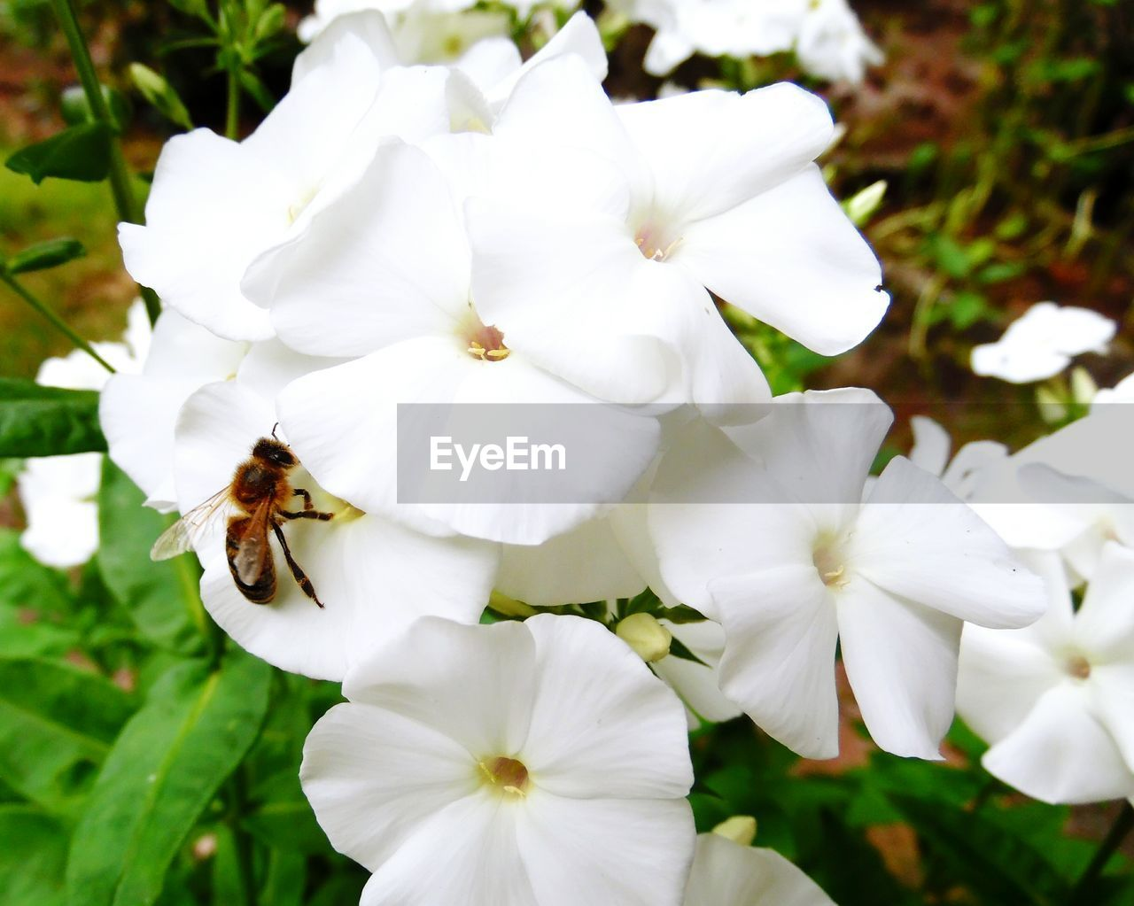 white color, flower, petal, one animal, insect, nature, beauty in nature, fragility, flower head, animal themes, freshness, growth, no people, day, focus on foreground, animals in the wild, close-up, outdoors, bee