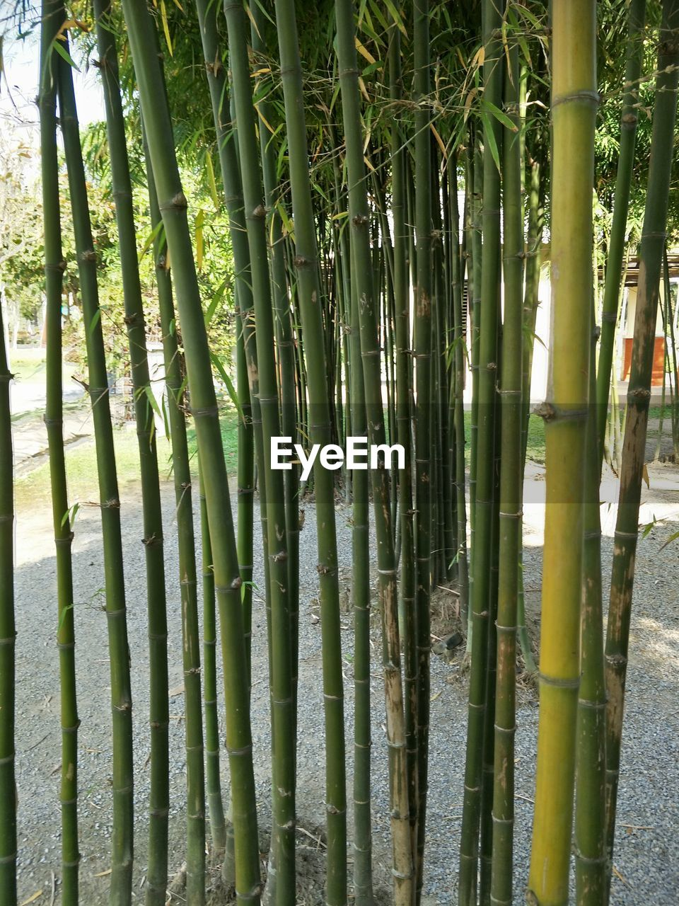 bamboo - plant, bamboo, plant, bamboo grove, growth, green color, beauty in nature, day, no people, tree, nature, forest, tranquility, outdoors, land, close-up, abundance, sunlight, backgrounds, full frame