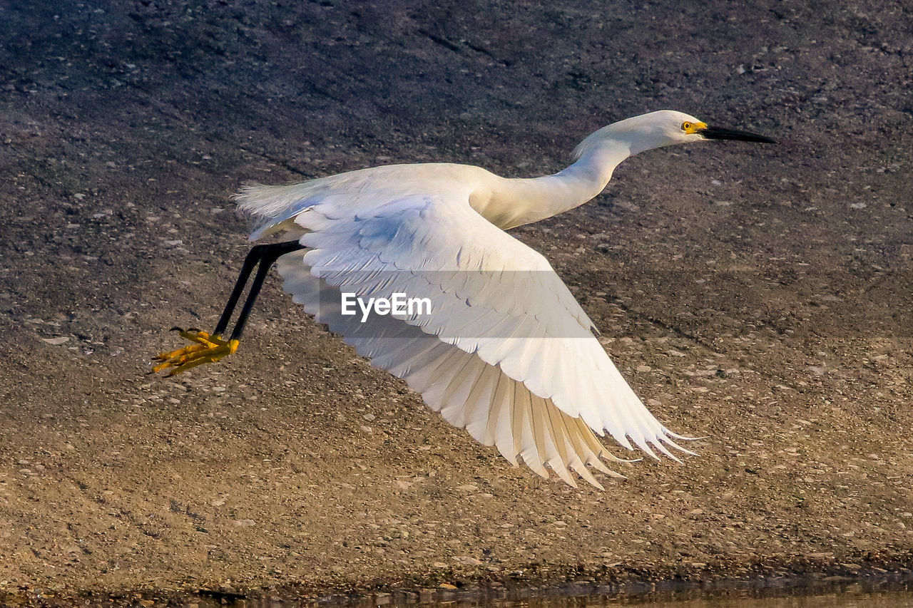 bird, animal themes, animal, vertebrate, animals in the wild, animal wildlife, one animal, spread wings, flying, white color, full length, day, nature, no people, outdoors, egret, motion, beak, side view, flapping