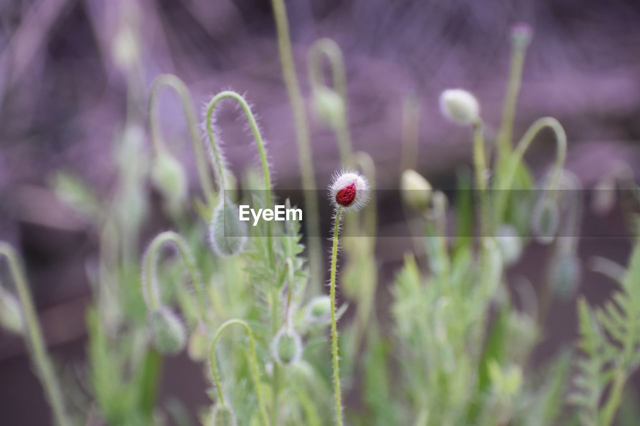 plant, growth, flower, fragility, flowering plant, vulnerability, beauty in nature, selective focus, nature, freshness, close-up, no people, day, tranquility, bud, green color, botany, outdoors, flower head, plant stem, purple