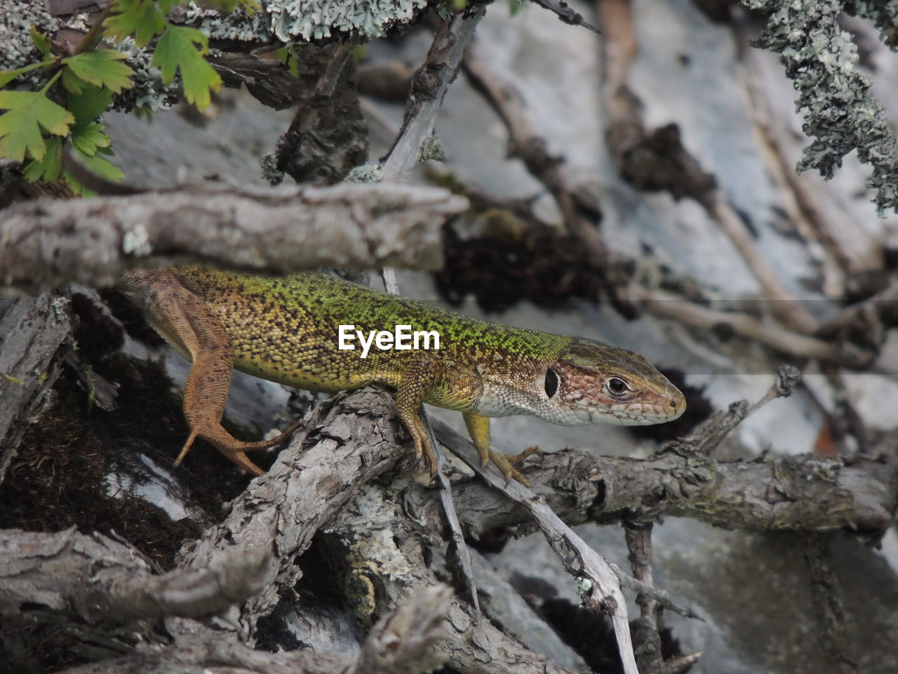 animal themes, animal, one animal, animal wildlife, animals in the wild, lizard, reptile, vertebrate, no people, nature, tree, plant, branch, focus on foreground, day, close-up, side view, outdoors, zoology, rock, animal scale