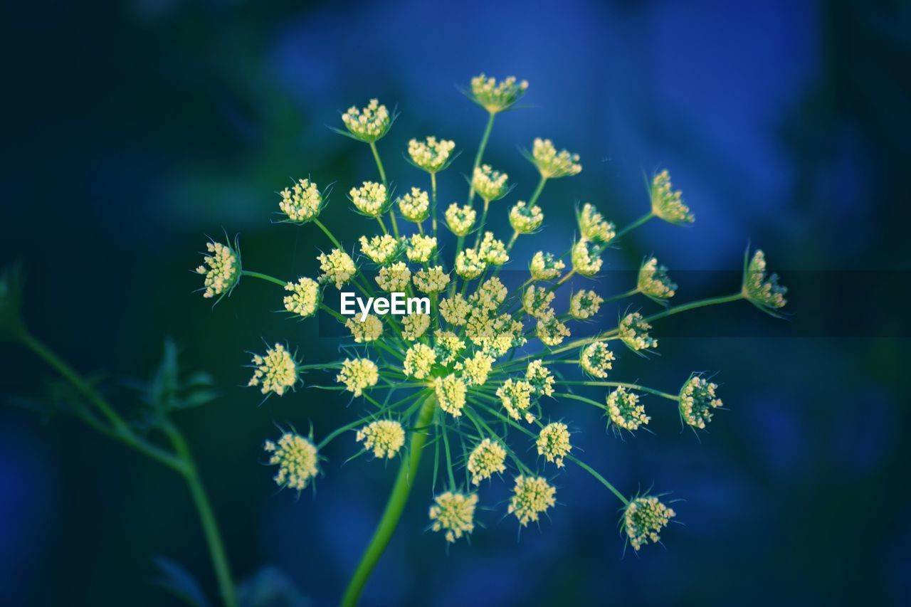 flower, flowering plant, plant, freshness, beauty in nature, fragility, vulnerability, growth, close-up, flower head, nature, selective focus, petal, no people, day, inflorescence, yellow, blue, outdoors, focus on foreground, pollen, purple
