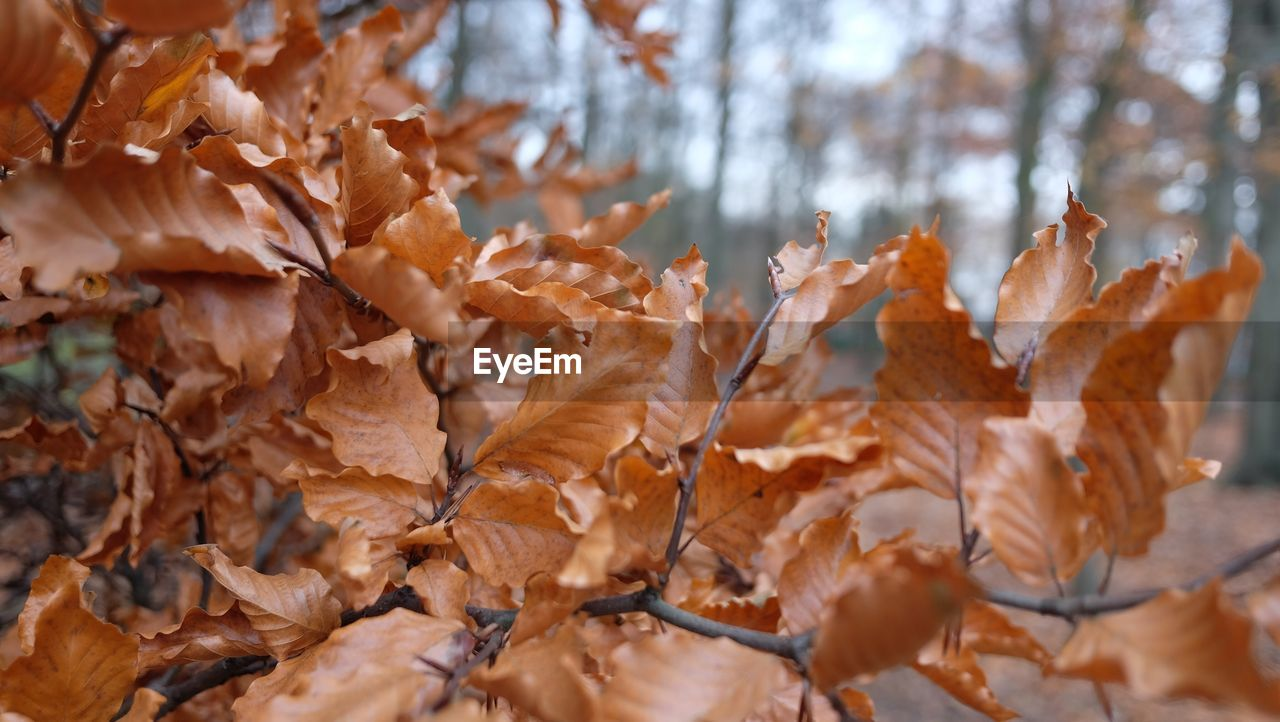 leaf, plant part, autumn, change, leaves, no people, close-up, day, nature, brown, dry, beauty in nature, tree, vulnerability, fragility, orange color, plant, selective focus, focus on foreground, tranquility, outdoors, natural condition, autumn collection, maple leaf, dried, fall
