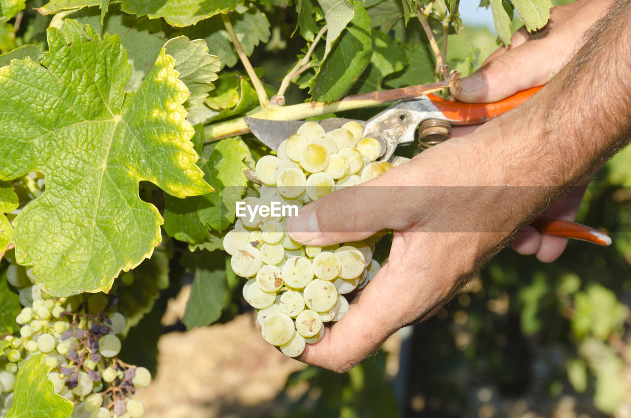 human hand, hand, one person, plant, plant part, human body part, leaf, growth, freshness, real people, nature, holding, green color, day, food and drink, food, men, agriculture, outdoors, gardening, human limb