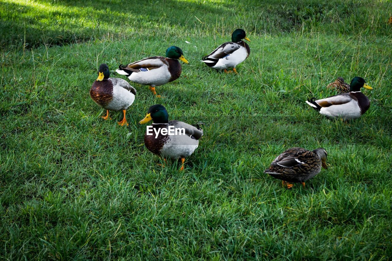 animal themes, grass, bird, duck, animals in the wild, nature, animal wildlife, field, mallard duck, water bird, day, lake, goose, mandarin duck, outdoors, green color, no people, togetherness, geese, growth, beauty in nature