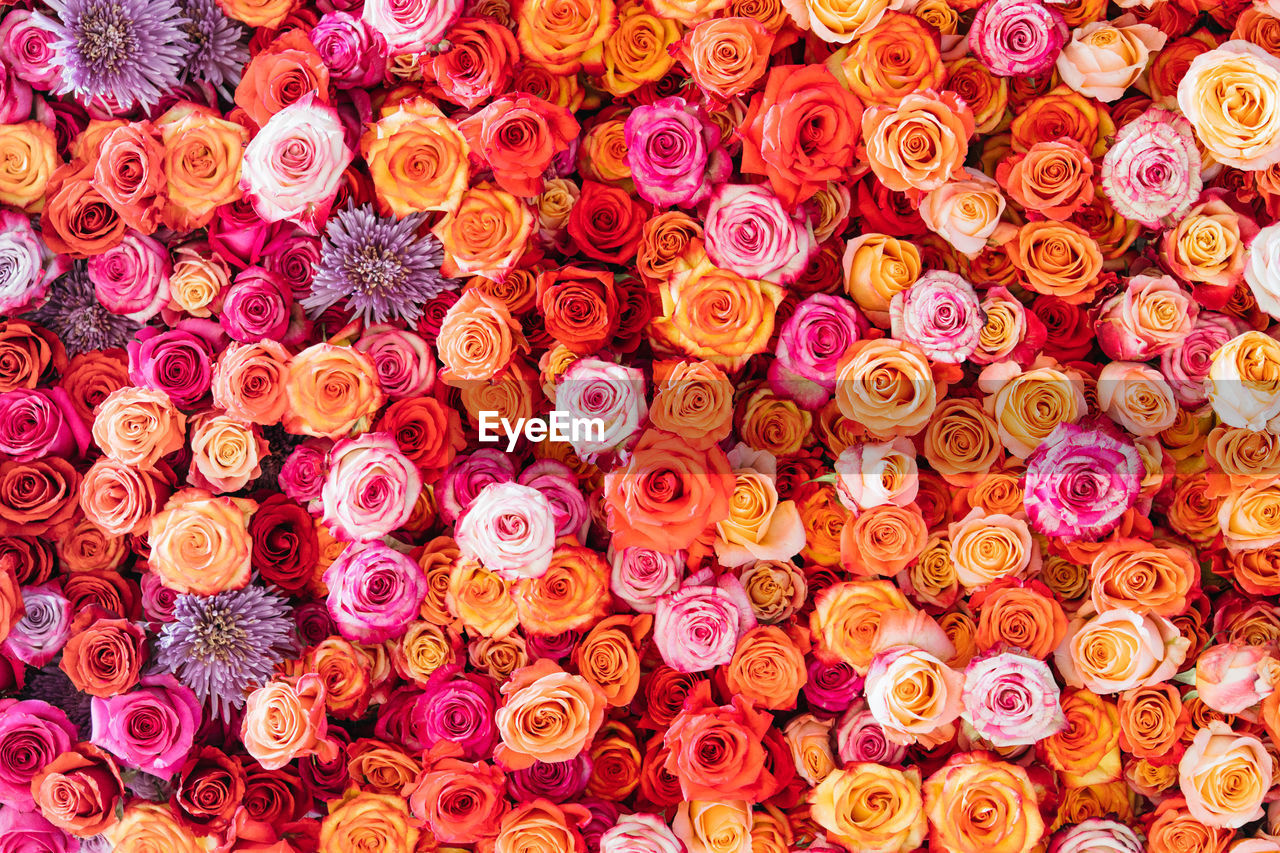 Colorful roses background.