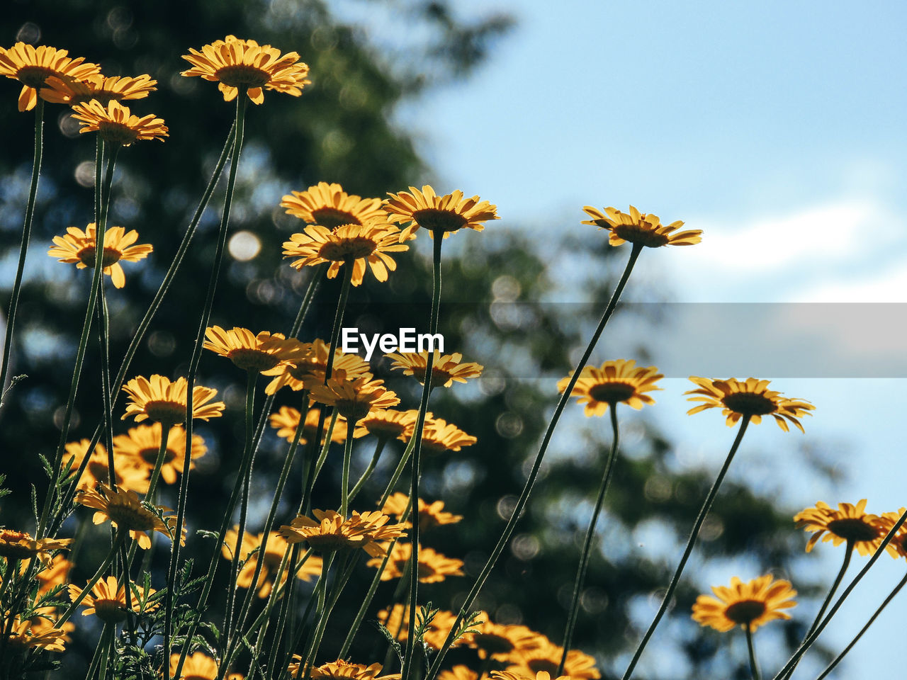 Close-Up Of Yellow Cosmos Flowers Blooming Against Sky