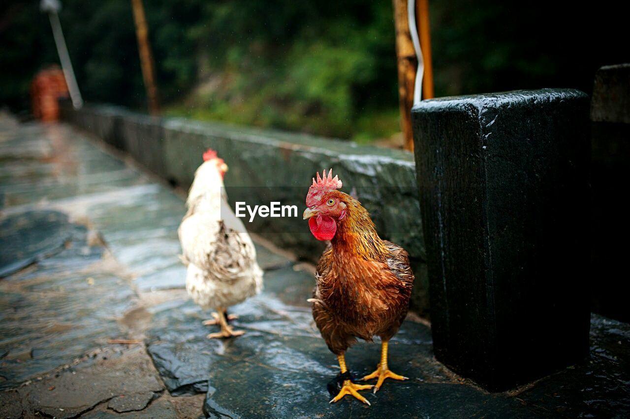 Chickens On Street