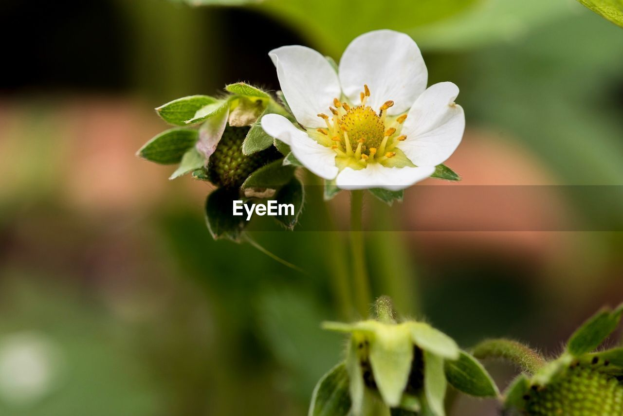 vulnerability, flower, fragility, flowering plant, plant, growth, beauty in nature, freshness, petal, close-up, inflorescence, flower head, nature, focus on foreground, leaf, selective focus, plant part, pollen, white color, no people, outdoors