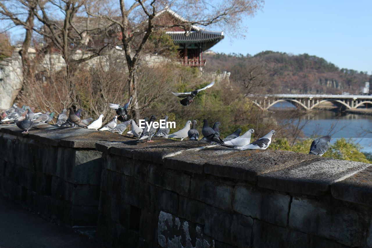 Pigeons on retaining wall against traditional building