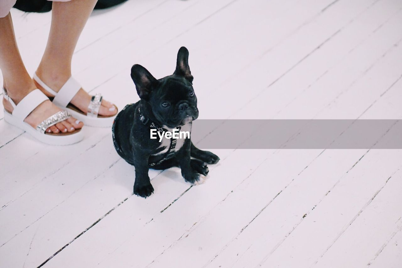 Low Section Of Woman Standing By French Bulldog On White Floor