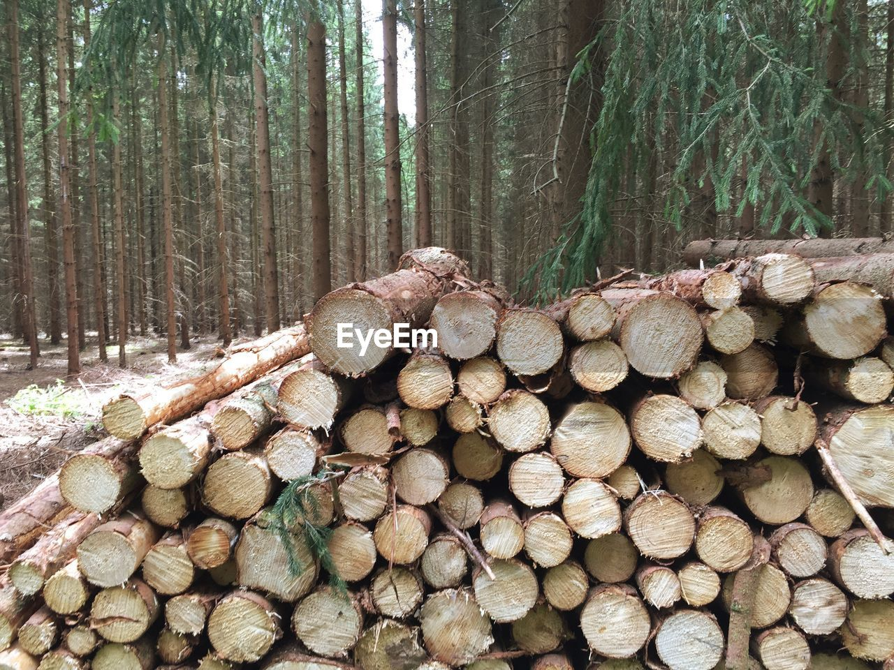 Close-Up Of Logs Against Trees In The Forest