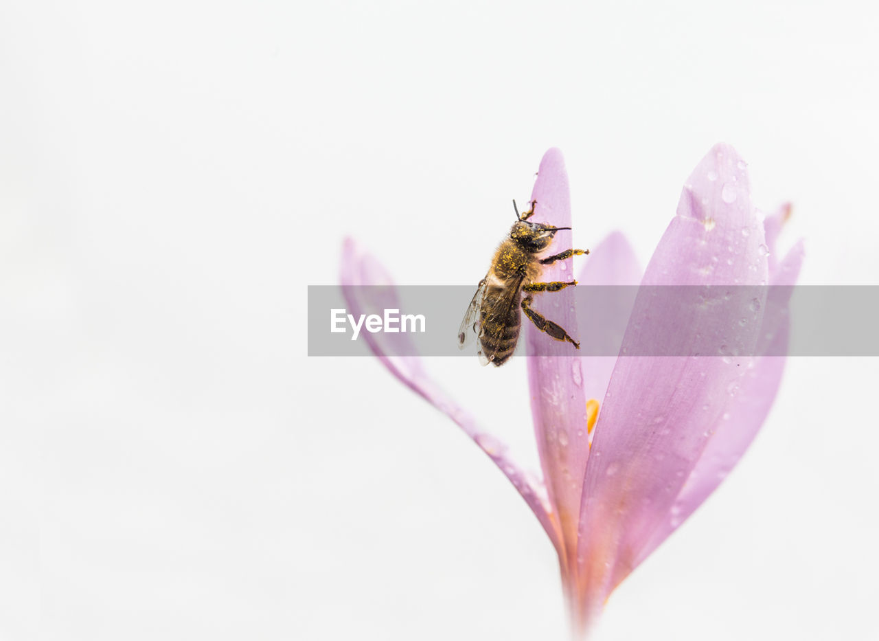 Close-up of honey bee on pink flower blooming against sky
