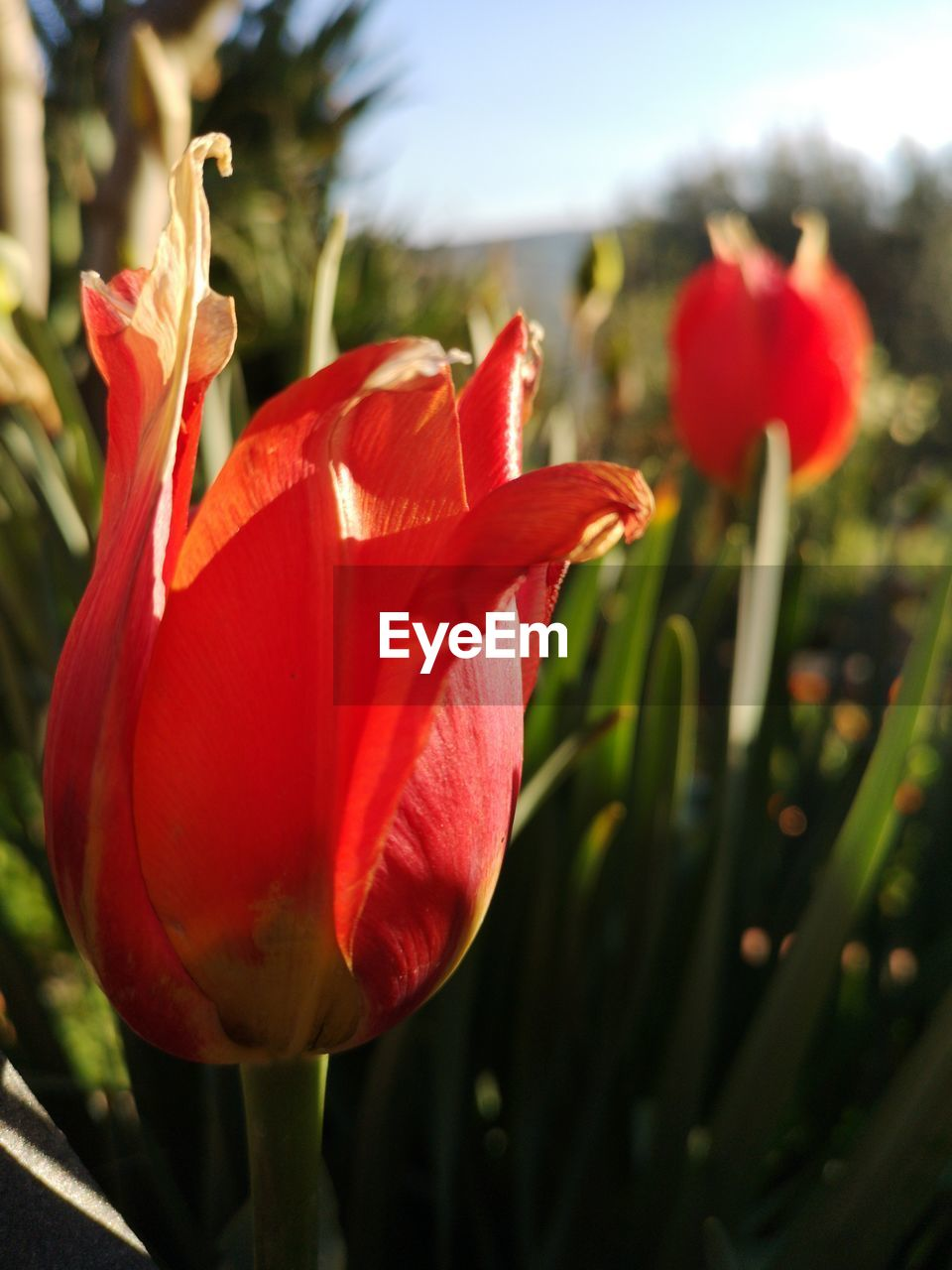flower, flowering plant, plant, beauty in nature, petal, fragility, freshness, vulnerability, red, growth, close-up, flower head, inflorescence, nature, focus on foreground, no people, day, botany, plant stem, tulip, outdoors, springtime, sepal