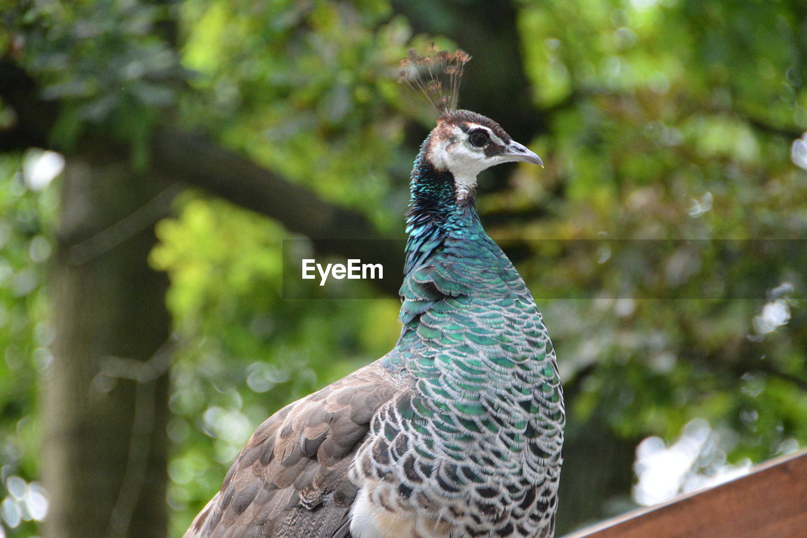 Low angle view of peahen