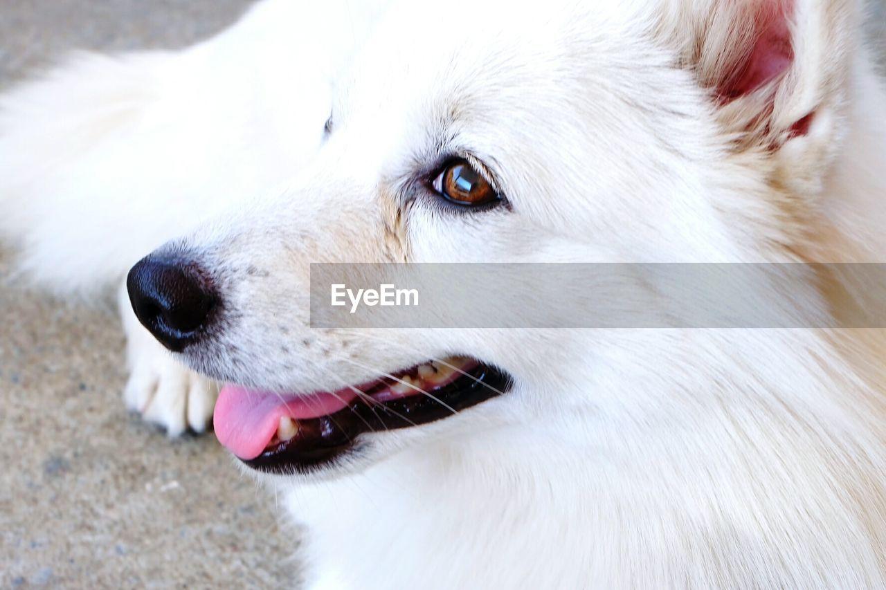 High Angle View Of Pomeranian Dog