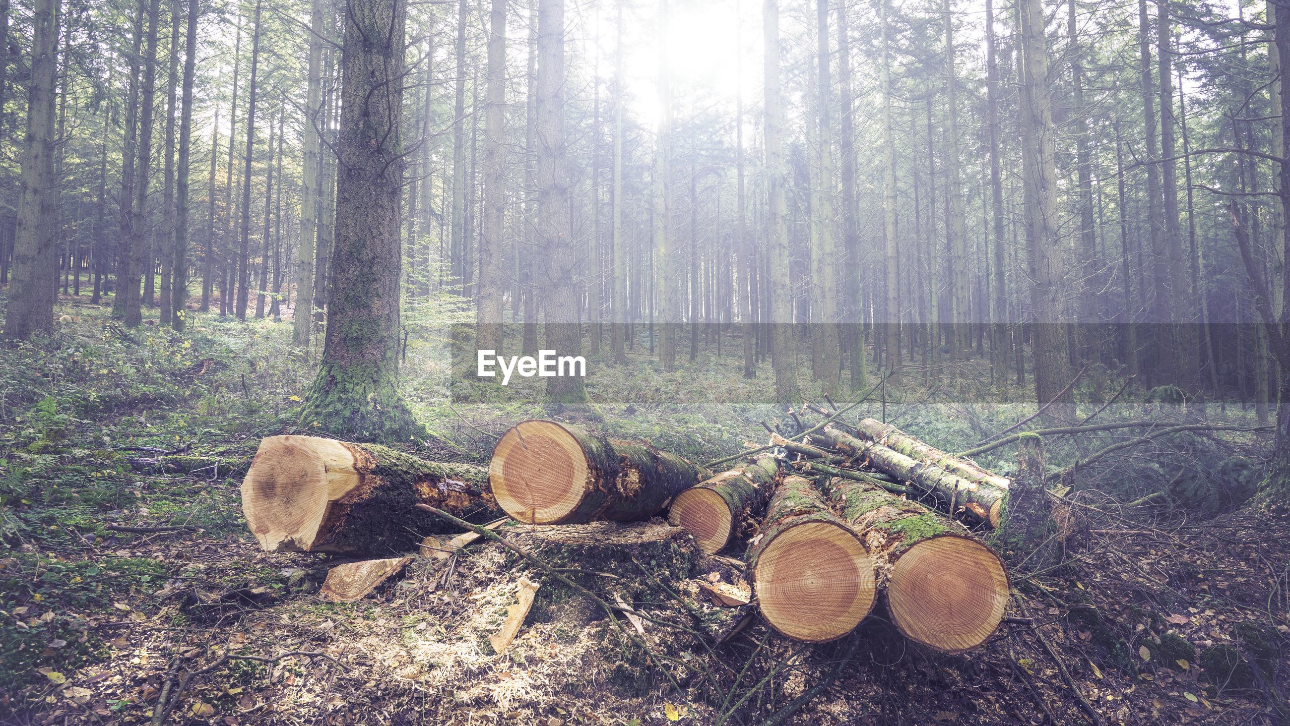 tree, forest, tree trunk, tranquility, growth, nature, woodland, abundance, tranquil scene, wood - material, large group of objects, field, landscape, day, stack, no people, deforestation, beauty in nature, sunlight, outdoors