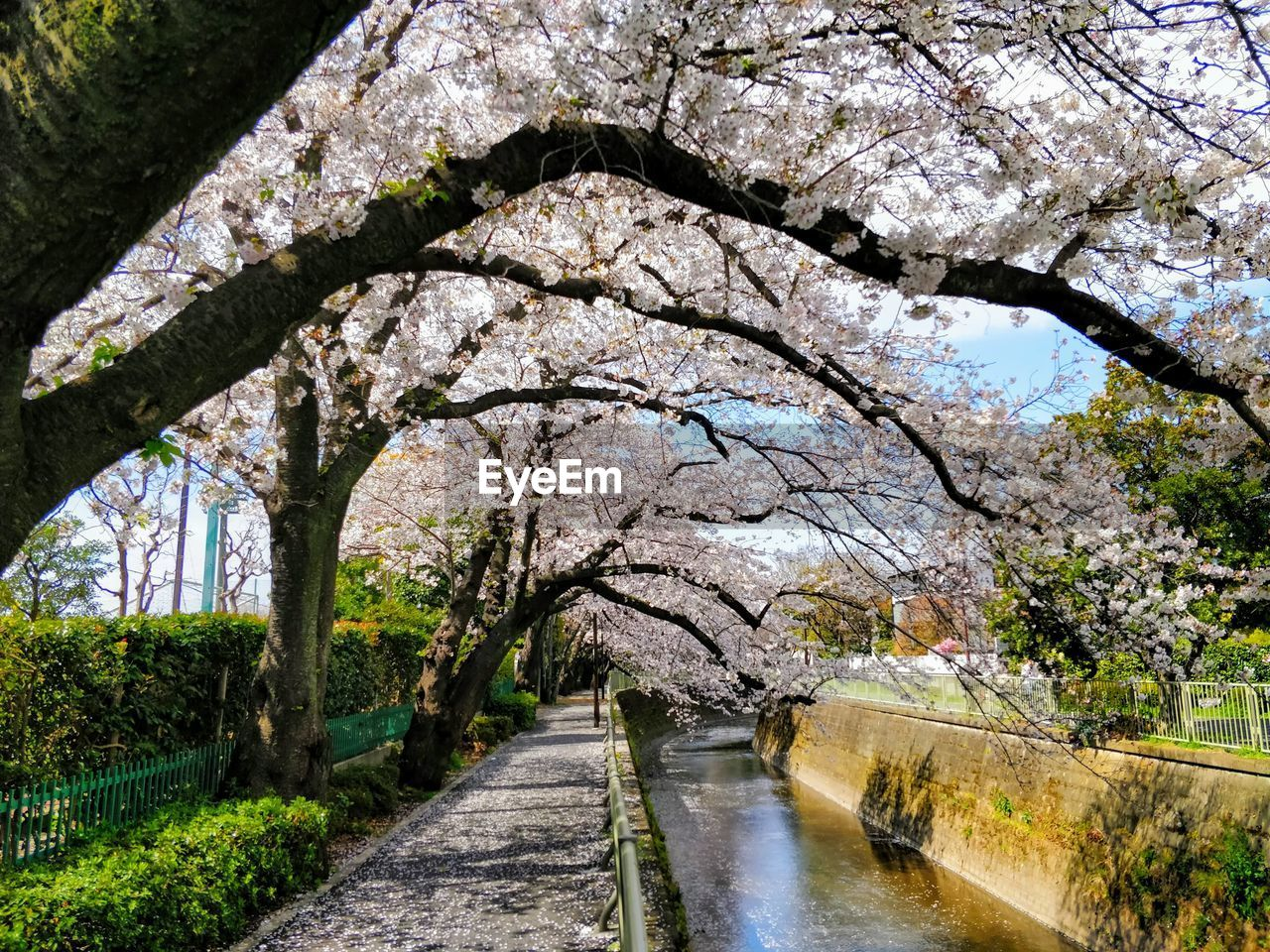View of canal amidst cherry blossom trees in park